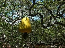 The Great Cashew Tree in Pirangi (Rio do Norte)